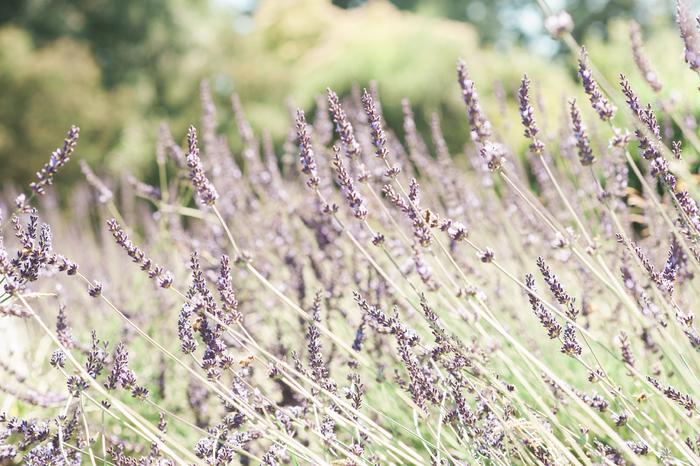 Lovely_Lavender_Clare-023.jpg