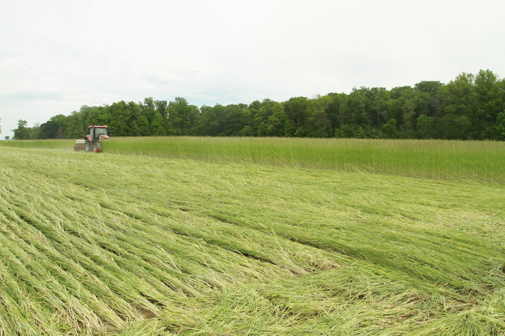 Rolling Rye and No till drilling soybeans -
