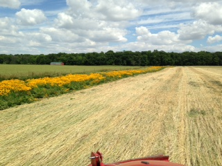Here you can see what our pollinator buffer strips looked like at the end of June. I think the bees were happy. In the picture you can also see that this field was rolled pretty late and the rye stand wasn't as thick as one would like. -