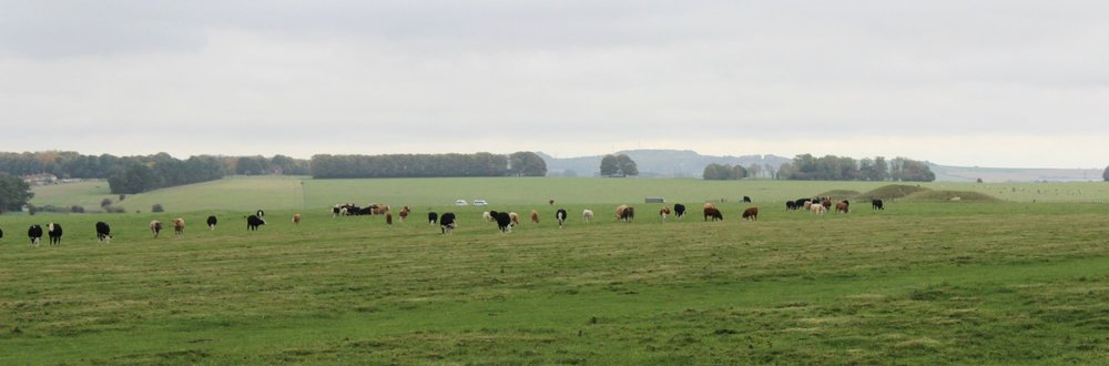 Cows and Burial Mounds