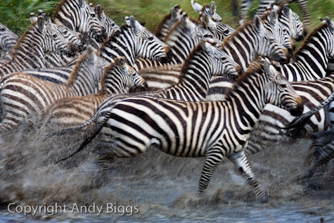 Blurred Running Zebra