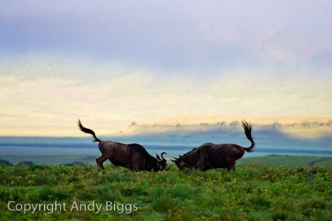 Sparring Wildebeest