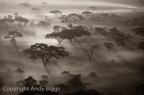 Acacia Trees and Fog