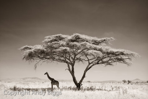 Giraffe Under Tree