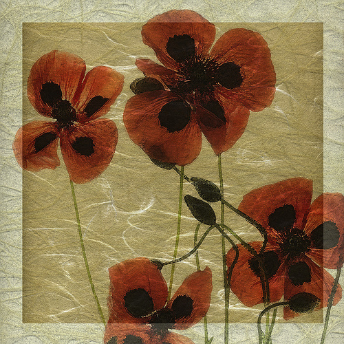 greek poppies 4.jpg
