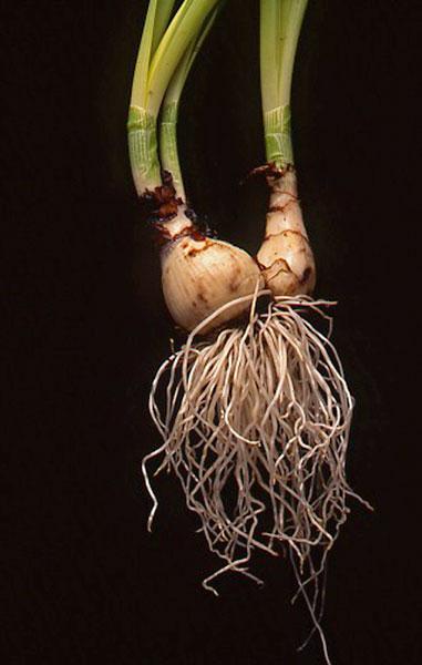 daffodil root