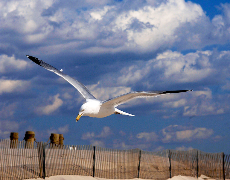 Atlantic sea gull with fence