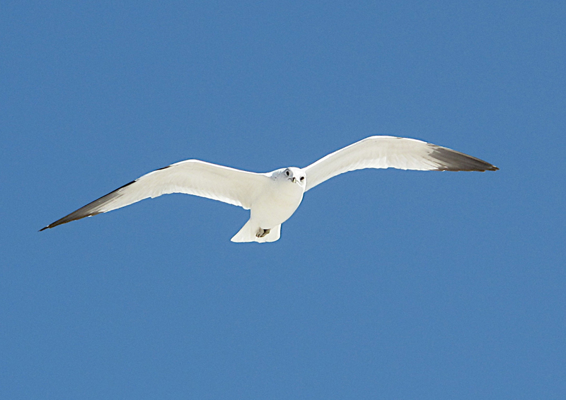 Atlantic gull