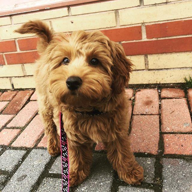Secret: one of our favorite things are little faces you just want to smush!!! . . #thewalkingdog #TWDPC #Sophie ##goldendoodle #doodledaze #golden #dogwalker #hoboken #cutiepie #dogsofhoboken #hobokendogs #doodlesofhoboken