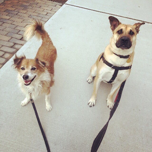 These two 🥰 the bestest friends anyone could have! . . . #thewalkingdog #TWDPC #petcare #dogwalker #bestfriends #tripawd #hopscotch #murphy #hoboken #buddies #dogsofinstagram #dogsofhoboken #goodestboy