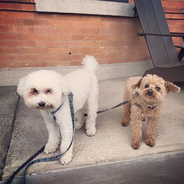 Just a couple JC stoop kids 🐶✌🏻 . . #tucker #truman #brothers #jerseycity #jcheights #stoopkids #doodlesofjerseycity #minipoodle #bestboys #dogwalker #thewalkingdog #TWDPC
