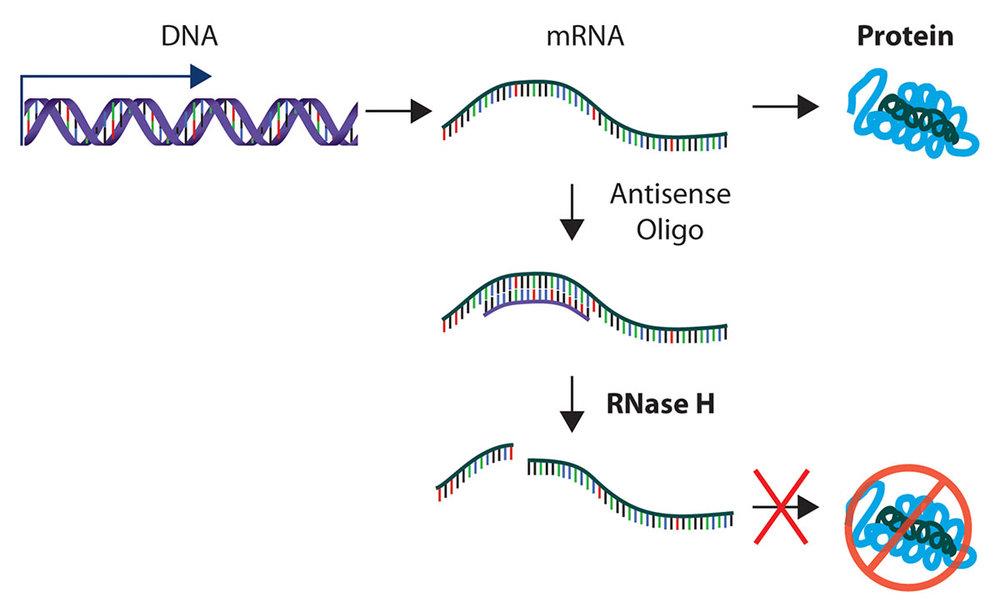 rnase-h-explained.jpg