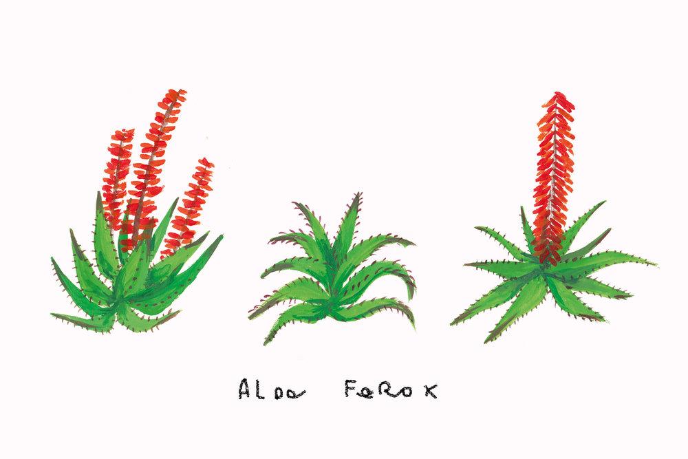 aloe_ferox_v01.jpg