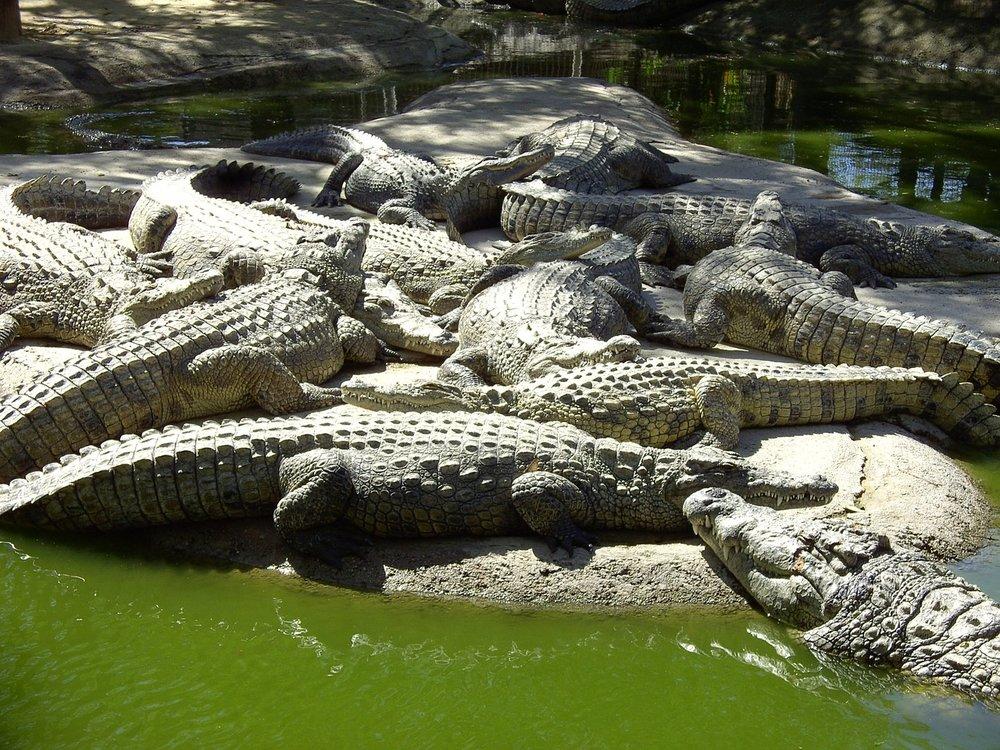 crocodiles-959612_1280.jpg