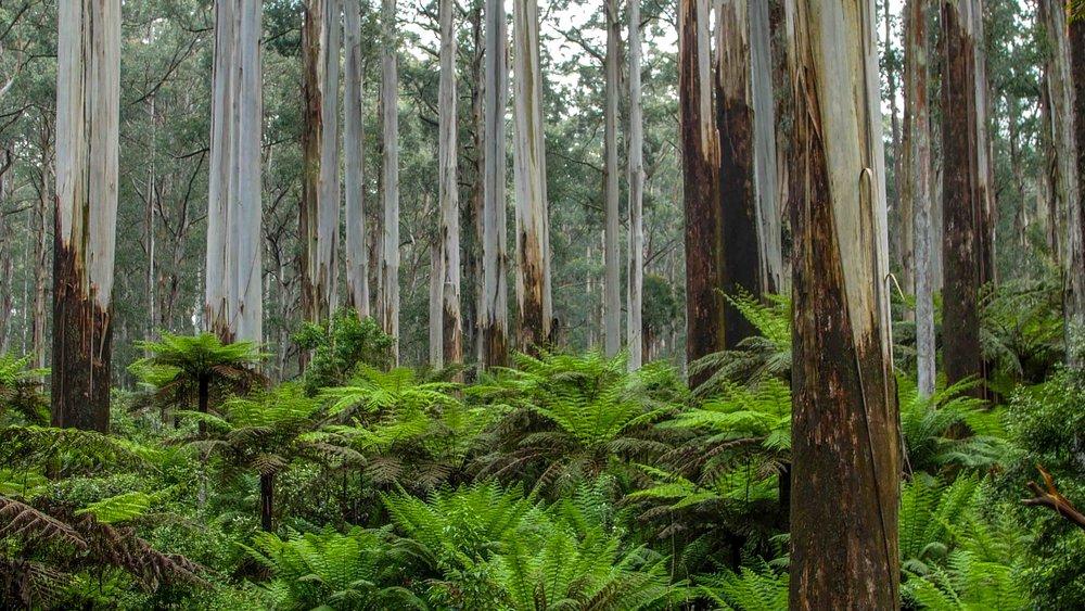dandedong ranges victoria australia (1 of 1).jpg