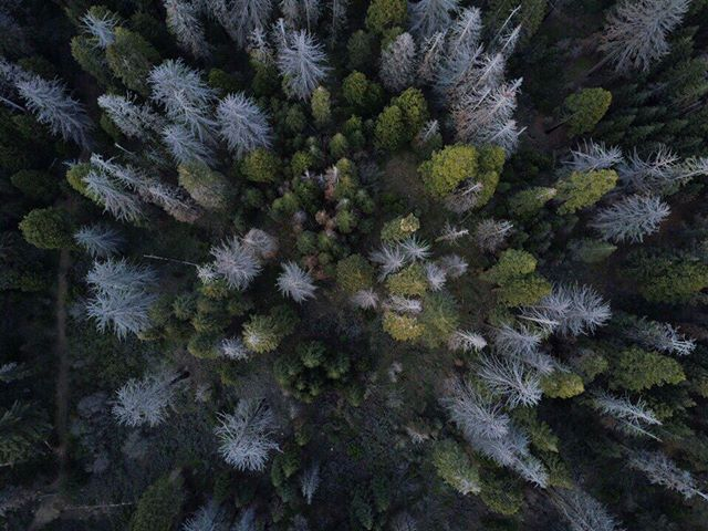Crispy Conifers #dronelife