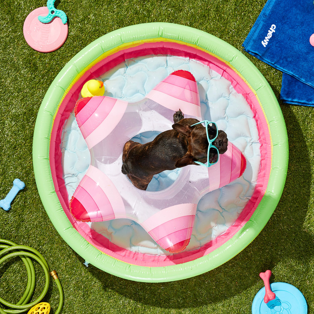 Commercial lifestyle image of French Bulldog dog,in a swimming pool - Photo taken for Chewy.com, by photographer Javier Edwards of El Roi Photo - based in Miami.
