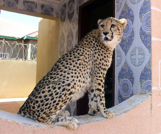 Cheetah_11-640x533.jpg