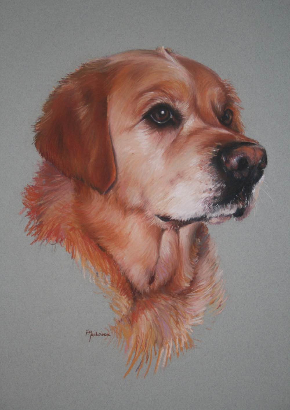 Commission: Golden Retriever. Pastel. 42 x 32cm.
