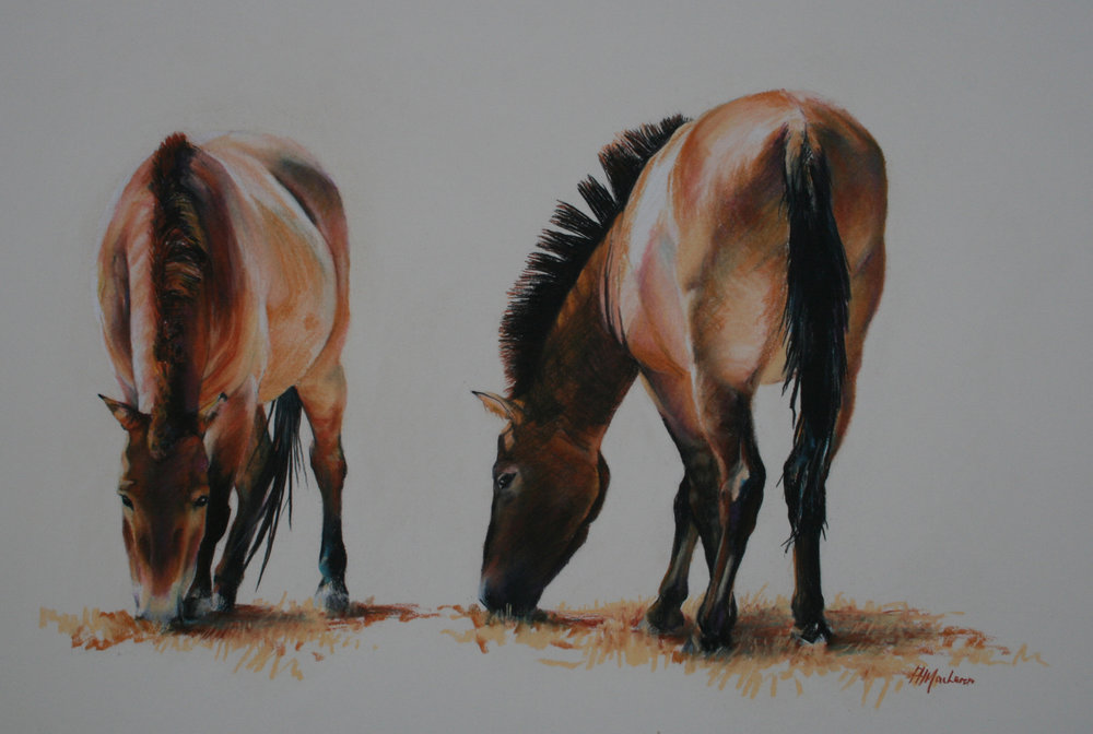 'Przewalski Wild Horses'. Conte and charcoal. Oil on canvas. 46 x 61cm.