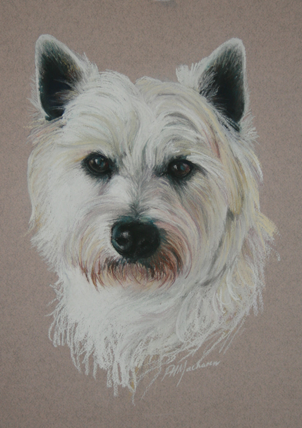 Commission:  'Jock' West Highland White. Pastel. 42 x 32cm.