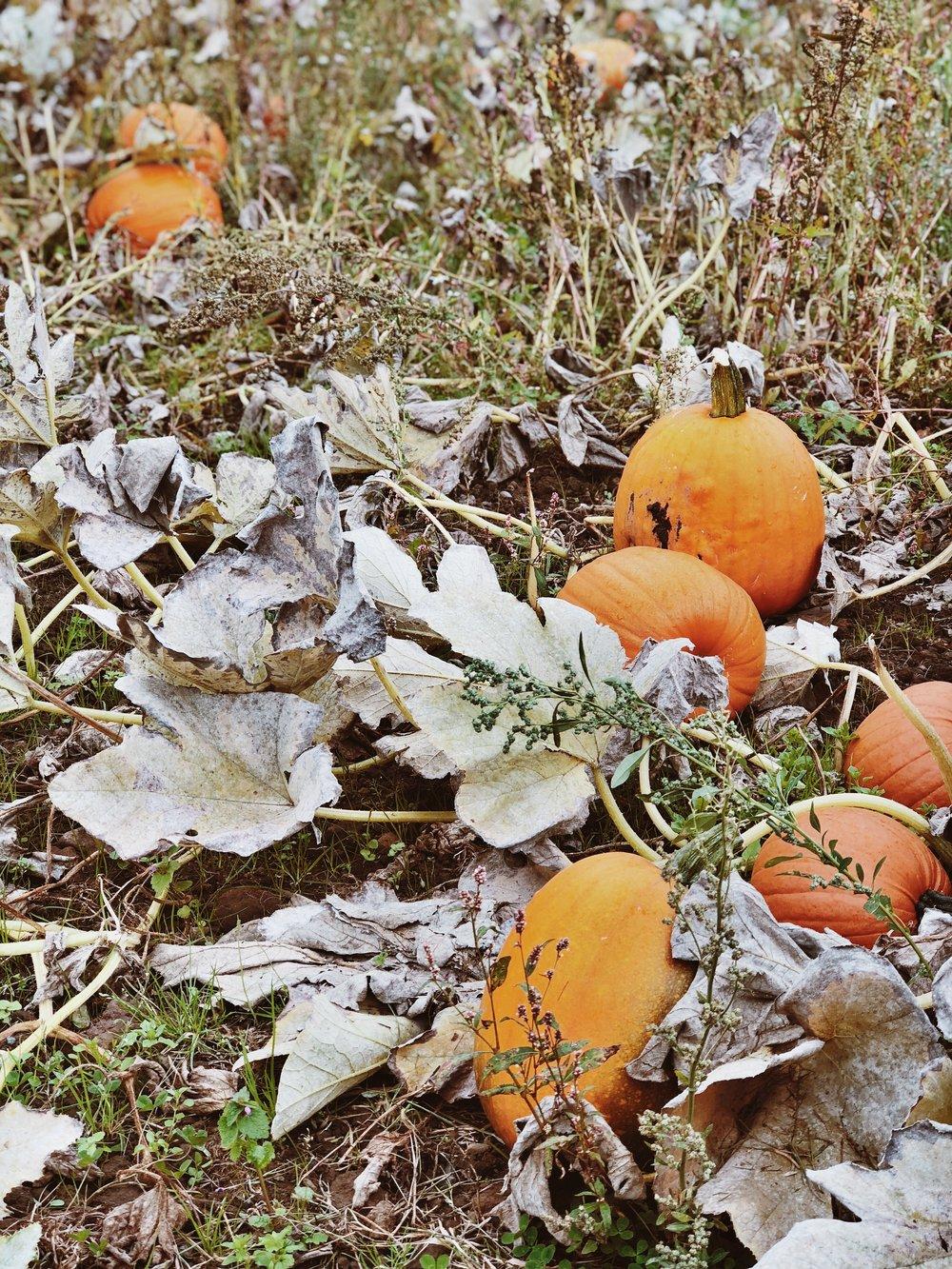 Pumpkins aplenty