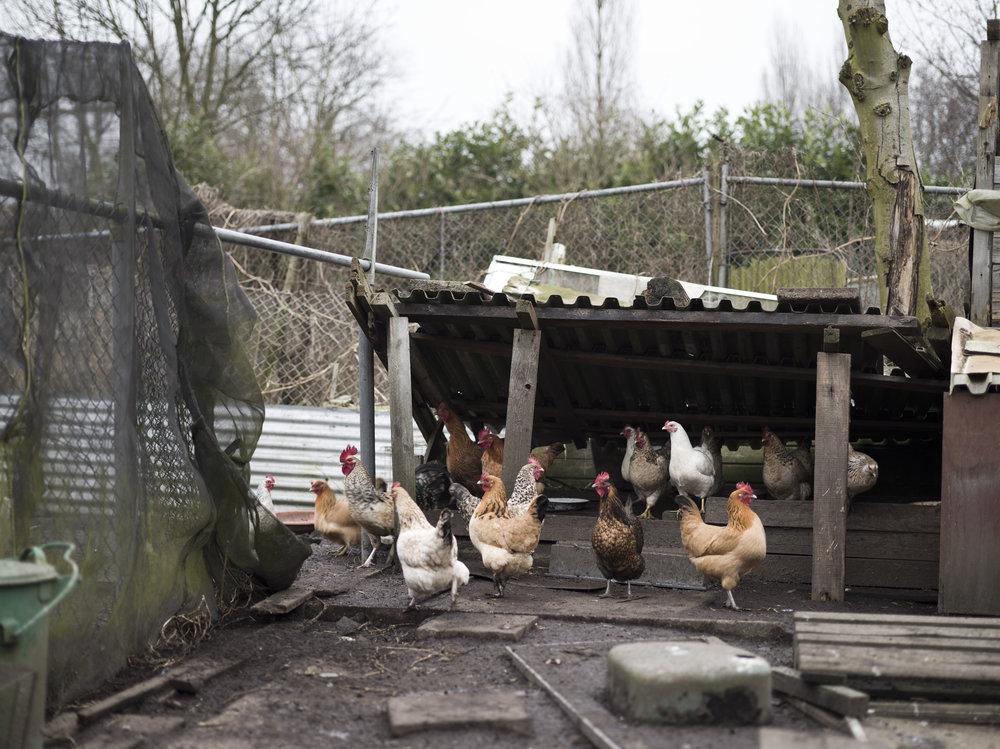 Chickenrun_Rotterdam15M_000298 1.JPG