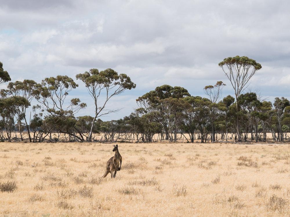 Känguru an der Westküste Australiens