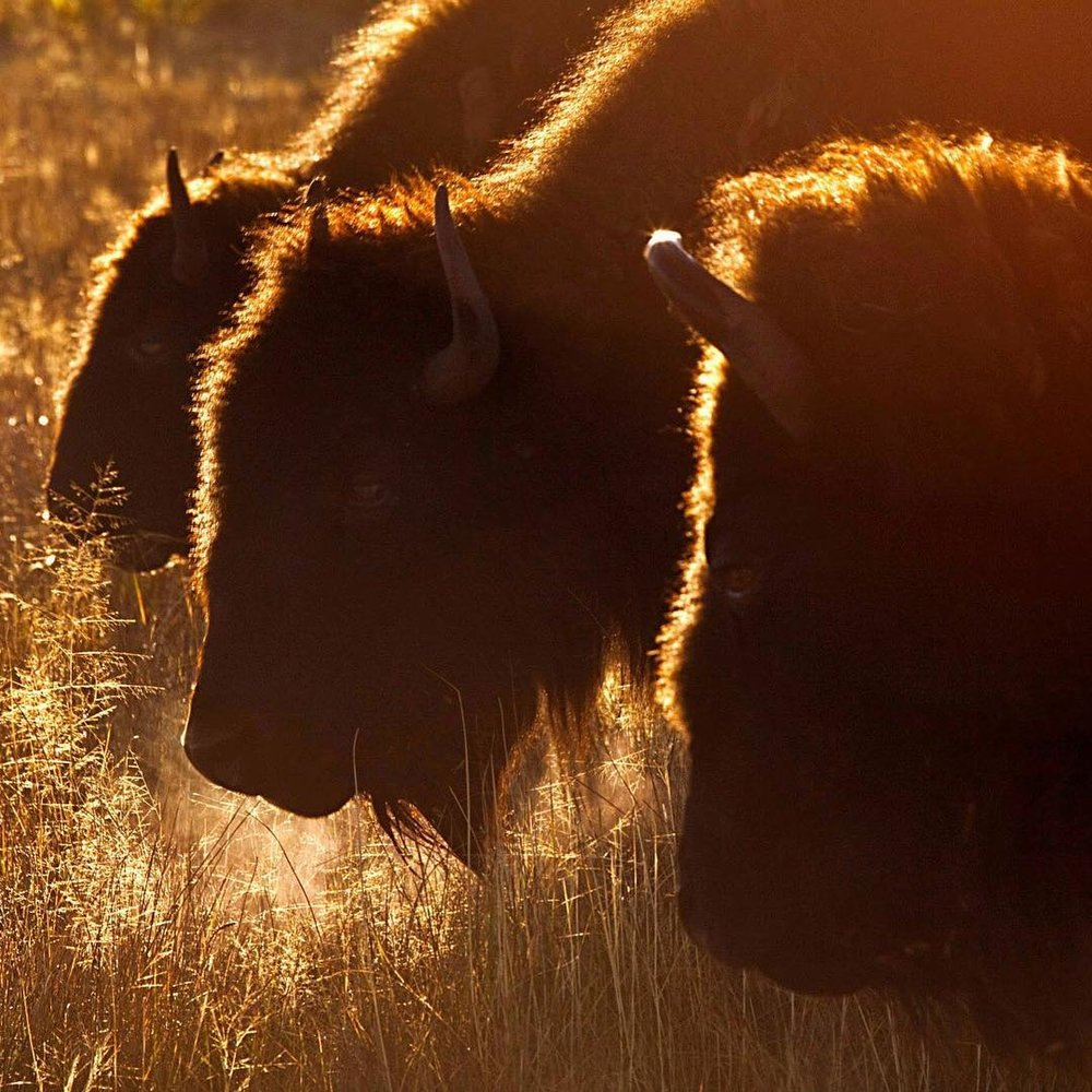 "Susan Q Byrd: ""Bison Grazing at First Light"""