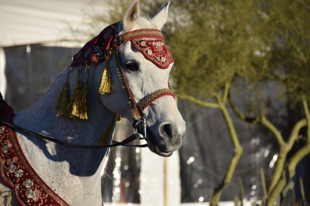 Arabians - 2.jpg