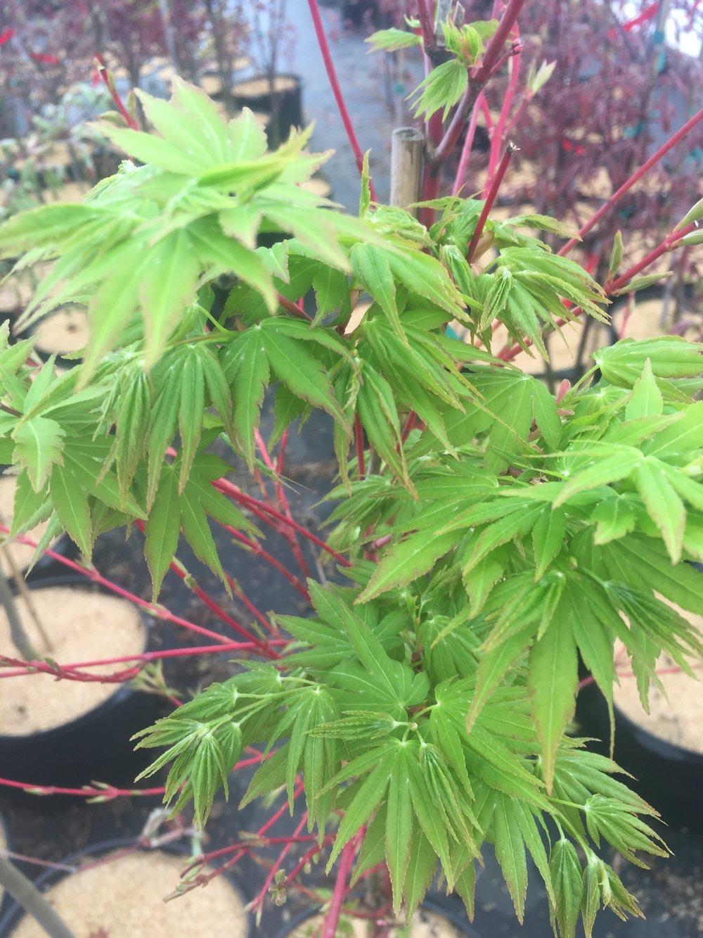 Acer palmatum 'Sangu Kaku' -