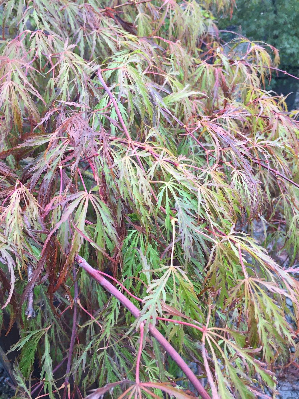 Acer dissectum 'Crimson Queen' -