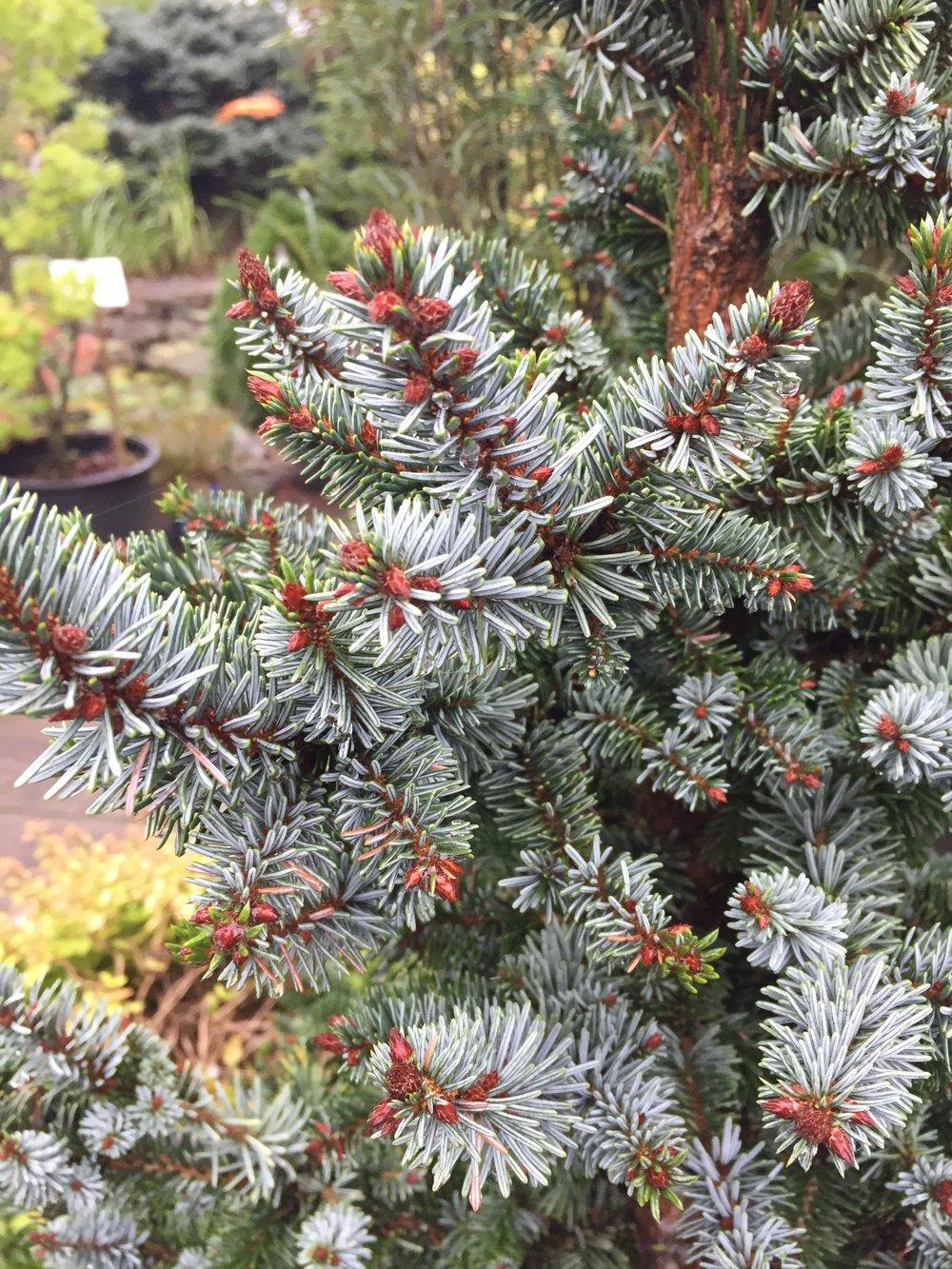 Picea omorika 'de Ruyter' -