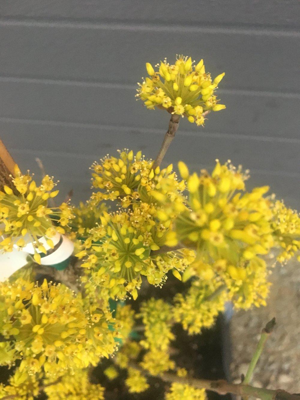 Cornus officinalis 'Kintoki' - Cornelian Cherry Dogwood 'Kintoki' -