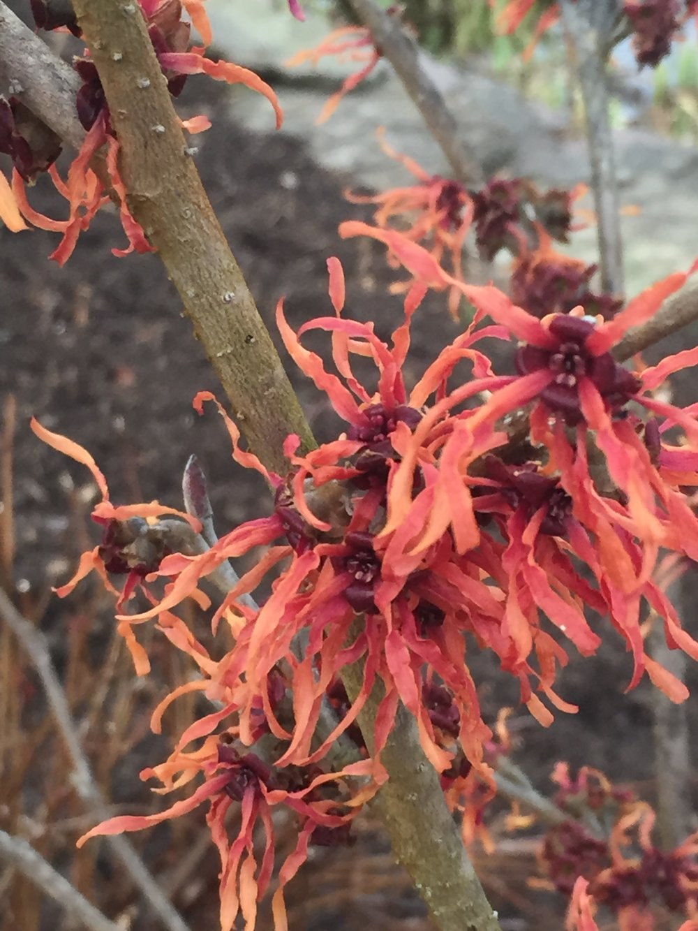 Hamamelis vernalis - Witch-hazel -