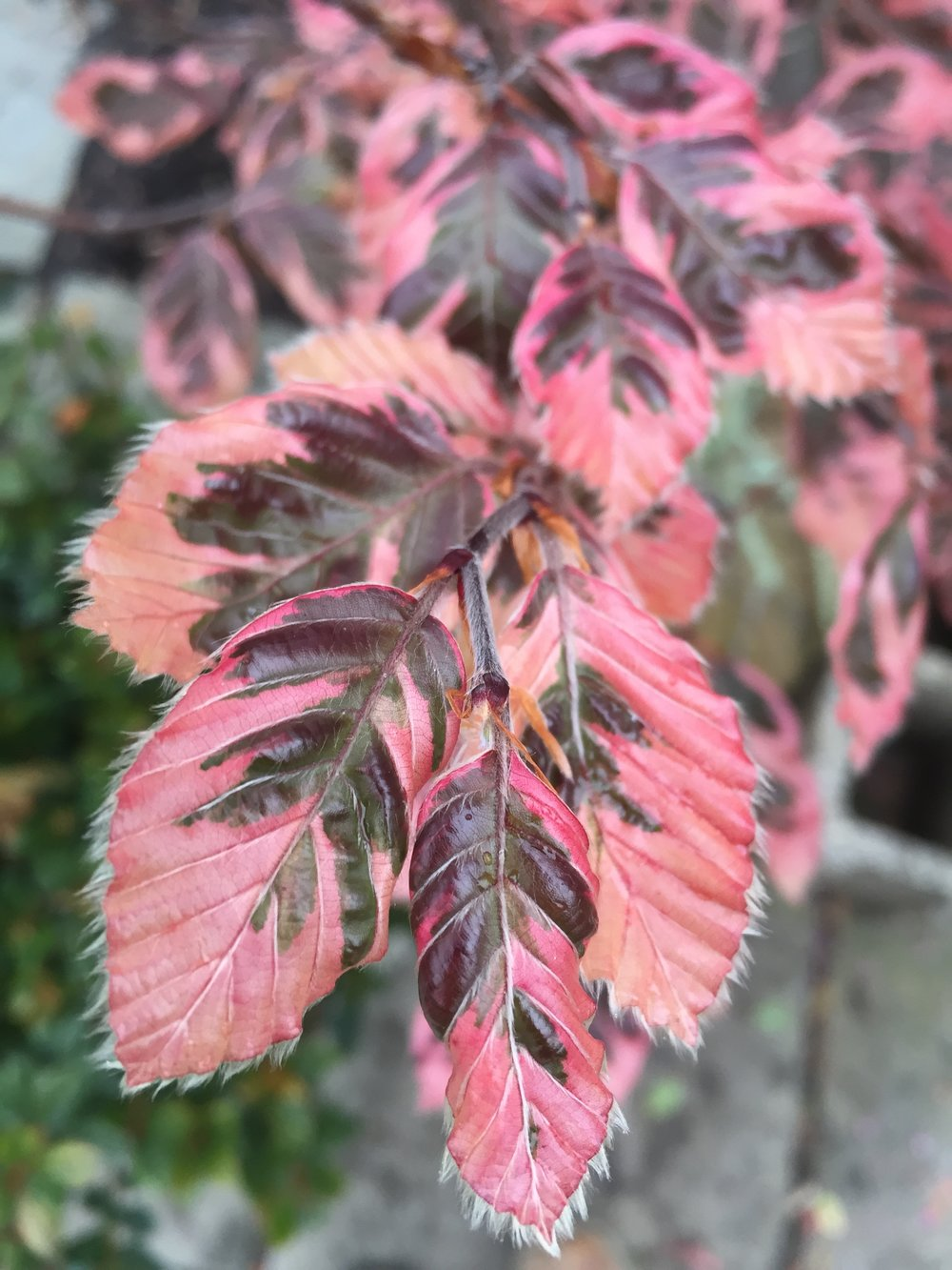 Fagus sylvatica 'Tricolor'- Tricolor Beech -