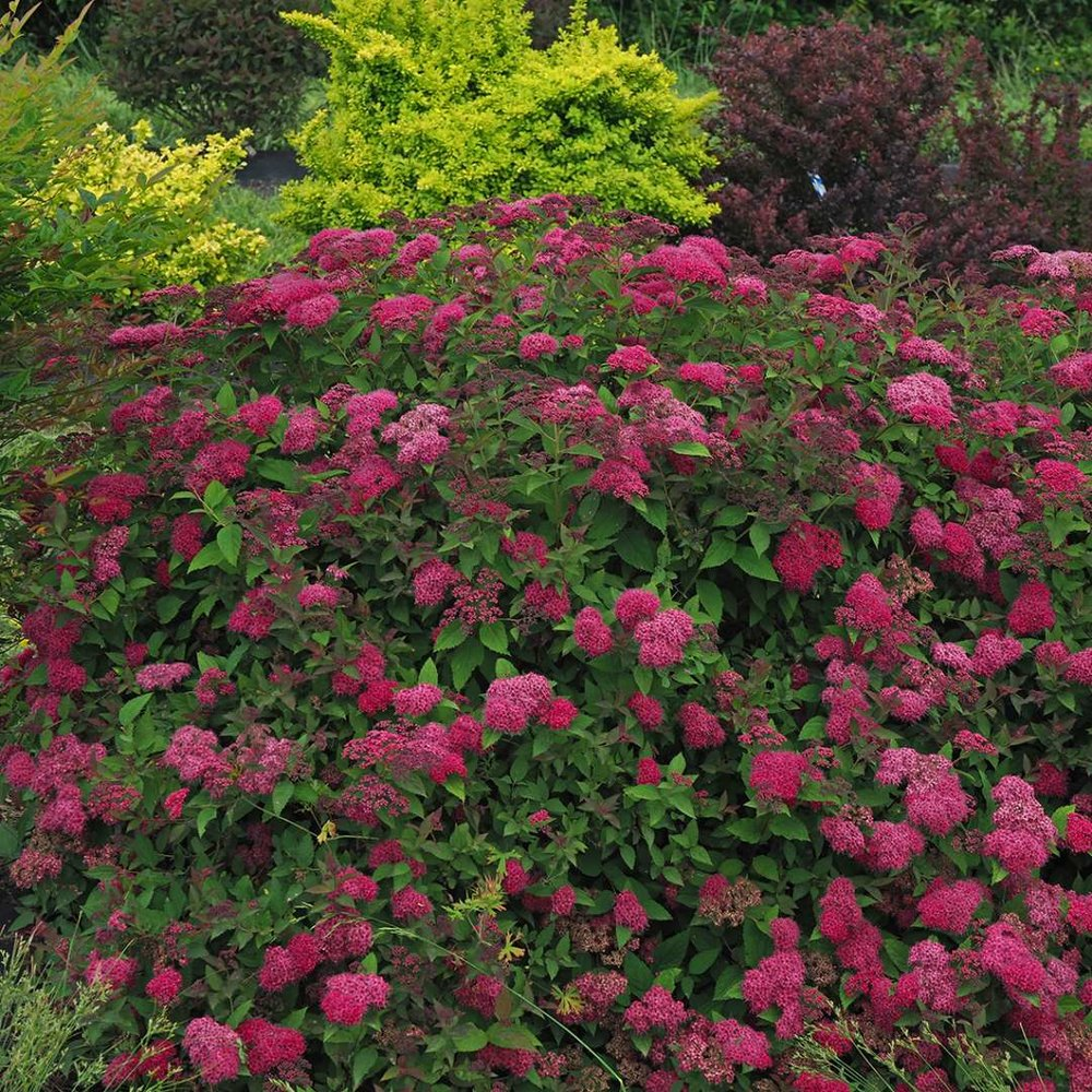 Spiraea Double Play Doozie 3_1080_1080_60.jpg