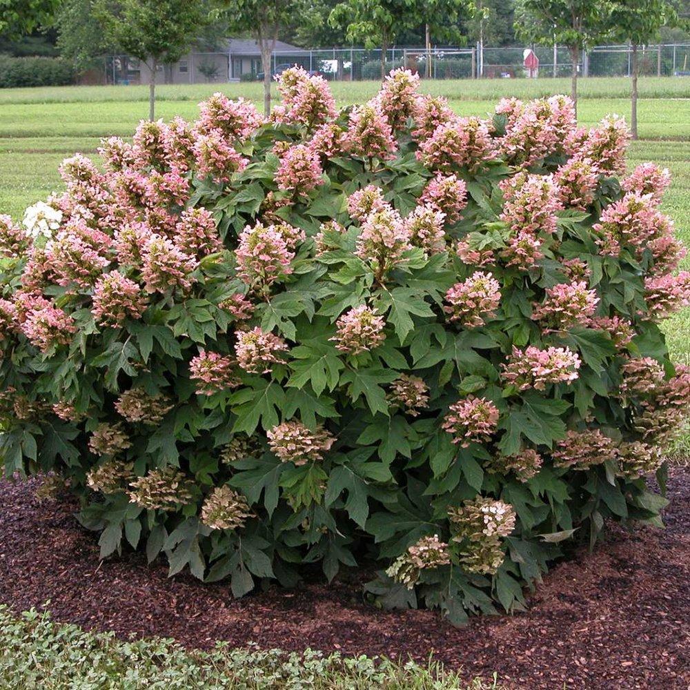 'Munchkin' Hydrangea - Oakleaf