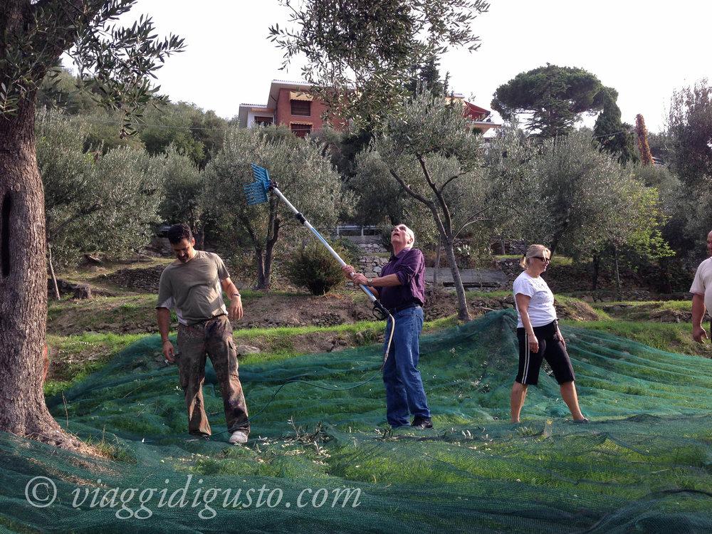 olive picking italy.jpg