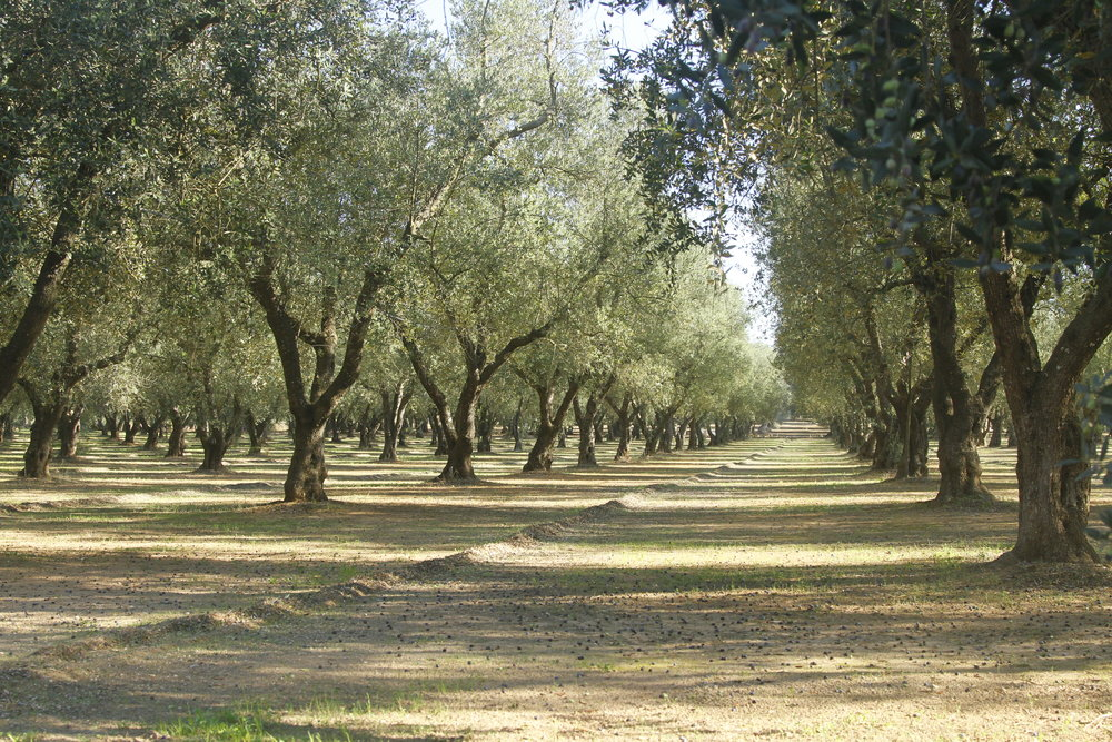 oliveoil_puglia_2014_5901.JPG