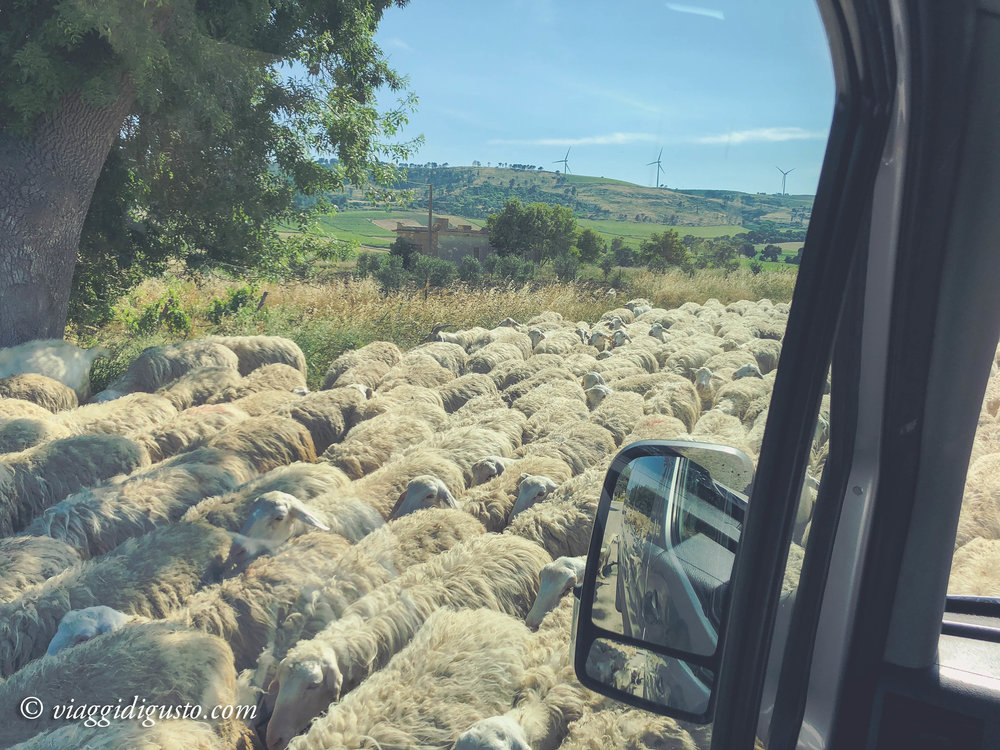 Rush hour, Sicilian countryside.