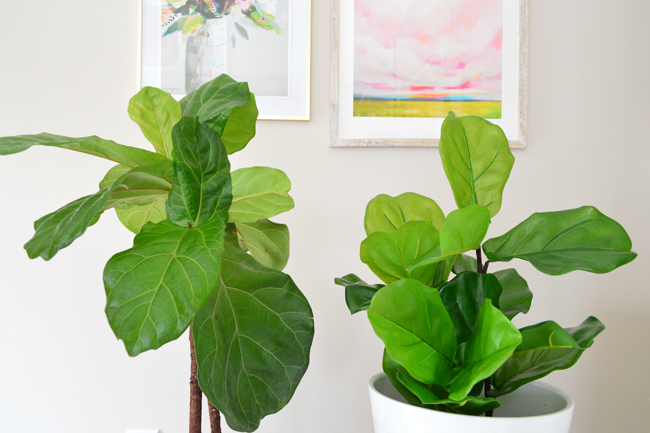 Faux-Fiddle-Leaf-Fig-Side-By-Side-Straight.jpg