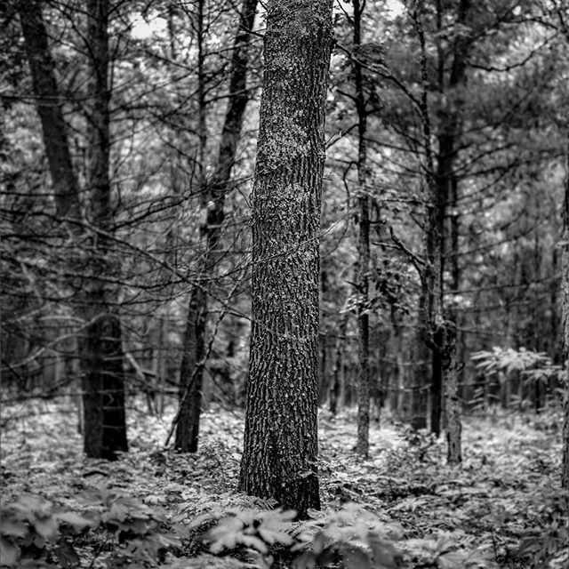 I was finally able to scan and edit some of my medium format negatives from the summer. • • • #photography #photooftheday #blackandwhite #blackandwhitephotography #mediumformat #mediumformatcamera #mediumformatphotgography #bronica #poormanshasselblad #canada #michigan #quebec #ottawa #adirondacks #newyork #upstatenewyork #film #120mm #120film #negative #trees #water #woods #nature #naturephotography #day #light #art