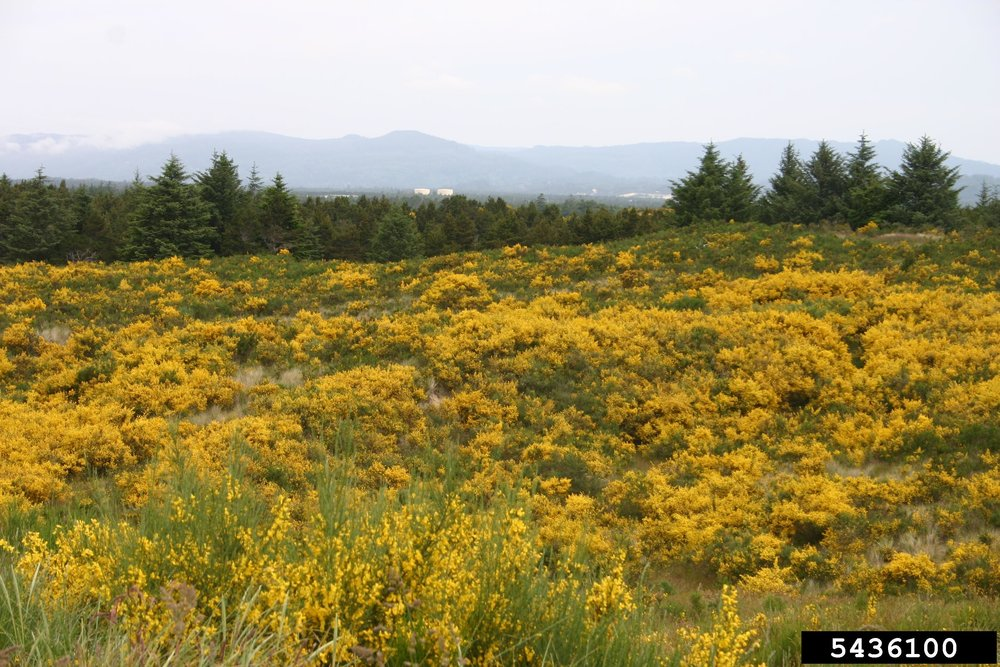 Scotch Broom and french broom infestation, South Jetty, Florence, OR. Credit: © Eric Coombs, Oregon Department of Agriculture