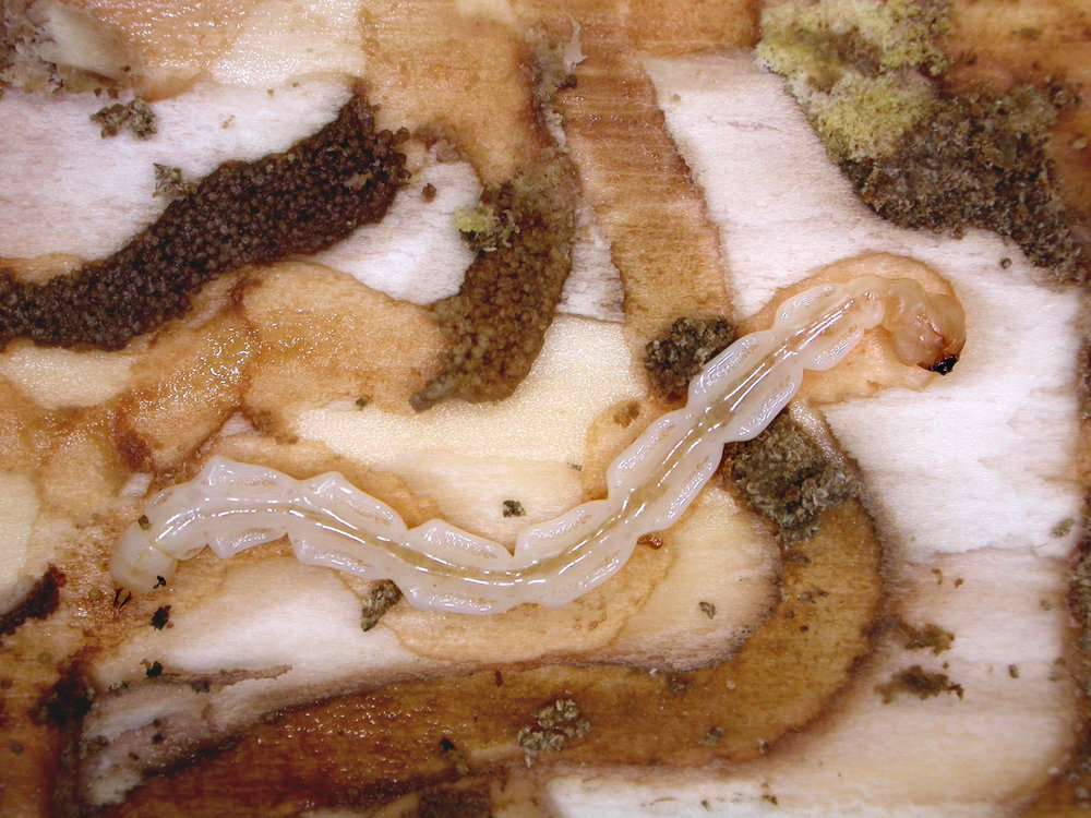 Nearly mature Emerald ash borer larva feeding on cambium, the internal tissue of a tree. Credit: © David Cappaert, bugwood.org