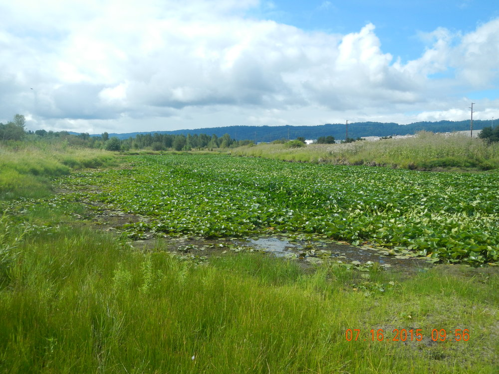 Ramsey Lakes wetland mitigation site BEFORE invasive plant management.