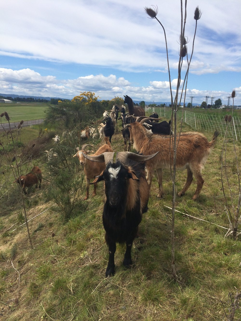 Goats graze at a stockpile berm at Portland International Airport.