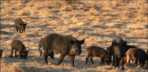 Feral Pigs reproduce very quickly and have been shown to impact timber production, farm operations, and have been found to prey on young livestock.  They are destructive animals to the environment and can impact water quality among other serious impacts in a very short amount of time. Adobe stock photo.