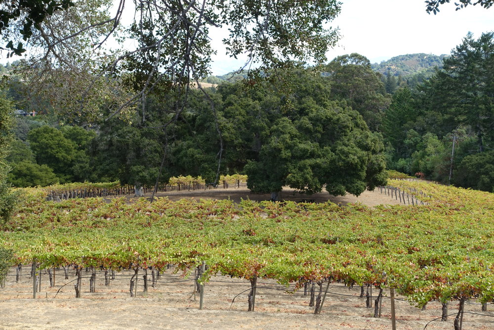 Picnic - Picnic is comprised of 2 acres planted in 2000 on the lowest east-facing slope at 645 to 600 ft. elevation, replacing the original Gewurztraminer planting. These Dijon 777 clone 5C rootstock vines are now 17 years old.