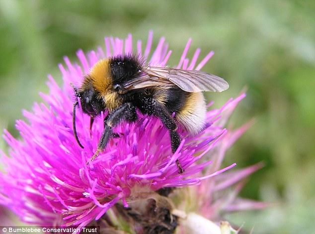 Bumblebee for website.jpg
